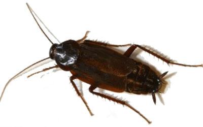 Ospiti indesiderati: blatte o scarafaggi