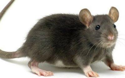 Ospiti indesiderati: topi